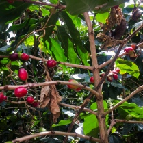 Coffee plants